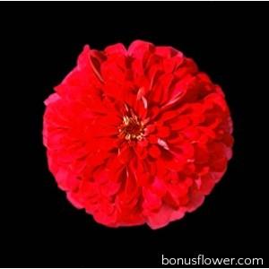 Цинния изящная Master Cherry Rose