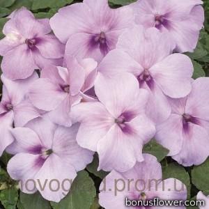 Бальзамин Уоллера Xtreme™ Lavender