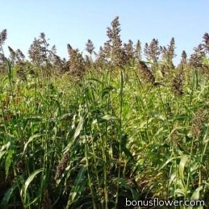 Семена суданской травы, 1 кг