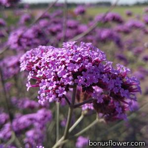 Вербена буэнос-айресская Purple Haze