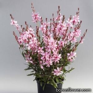 Гаура Emmeline Pink Bouquet