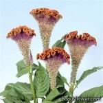 Целозия гребенчатая - Celosia cristata