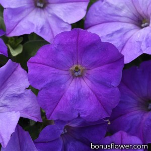 Петуния EASY WAVE® F1 Lavender Sky Blue