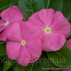 Катарантус SunStorm® Deep Pink