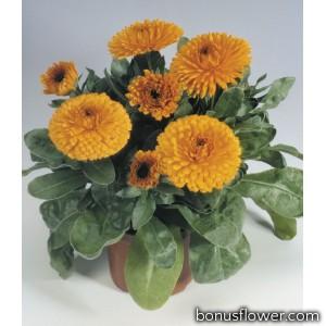 Календула лекарств Gitana: Orange