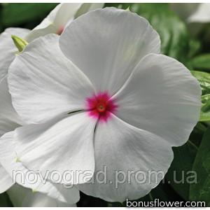 Катарантус роз Cora Cascade Polka Dot