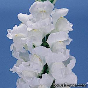 Львиный зев - POTOMAC® F1 EARLY WHITE Gr 3