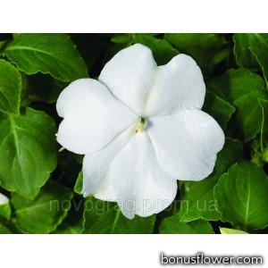 Бальзамин Accent Premium™ White