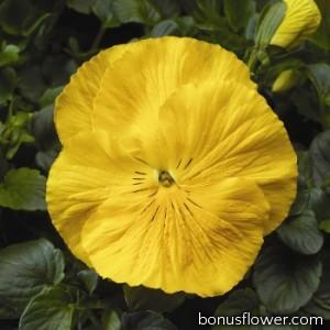 Виола Colossus® F1 Pure Golden Yellow