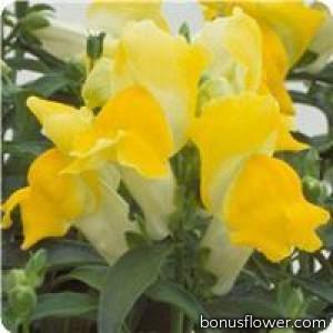 Львиный зев - Floral Showers: Yellow