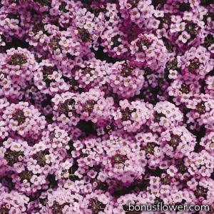 Алиссум морской Wonderland™: Lavender