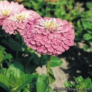 Цинния Benary's Giant™: Lilac