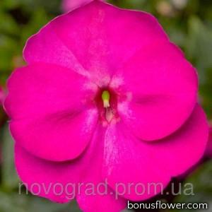 Бальзамин новогв Florific™ Violet