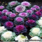 Капуста декоративная - Brassica oleracea