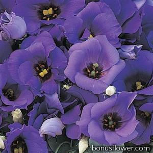 Эустома (Лизиантус) FLORIDA BLUE