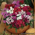 Гвоздика гибридная - Dianthus hybrida