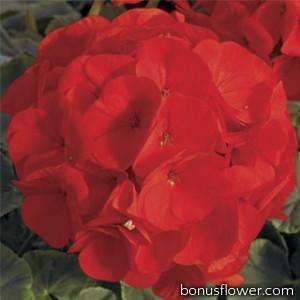 Пеларгония садовая BullsEye Scarlet