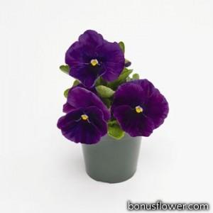 Виола Inspire® PLUS: Violet