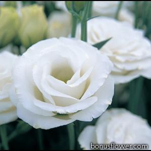 Эустома (Лизиантус) Croma 3 White