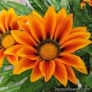 Гацания жестковатая Big Kiss™ Orange Flame