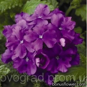 Вербена Obsession® Lilac
