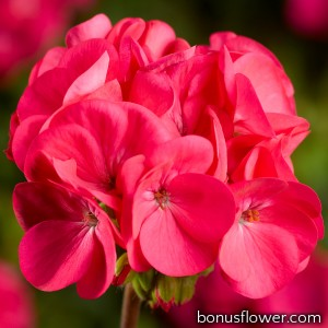 Пеларгония Pinto Premium Deep Rose