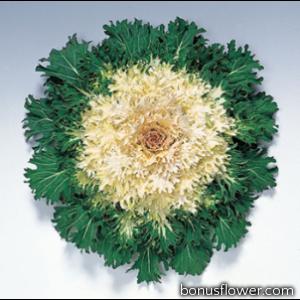 Капуста декоративная Coral F1 Prince