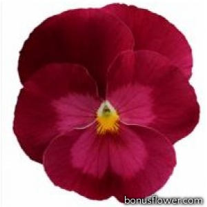 Виола виттрока Premier: Clear Rose
