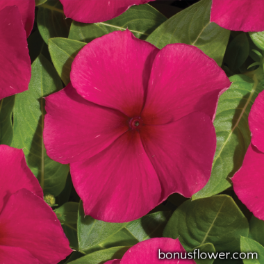 Катарантус роз Heatwave burgundy