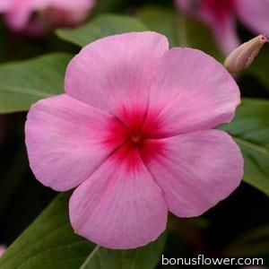 Катарантус розовый TITAN® F1 BLUSH
