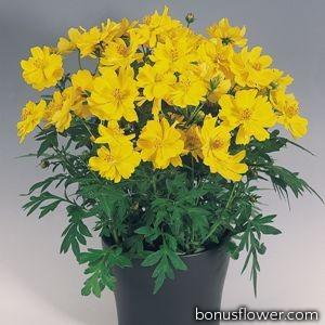 Космея серно-желтая Cosmic: Yellow