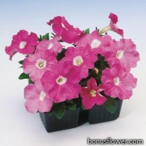 Петуния многоцветковая Lambada Rose