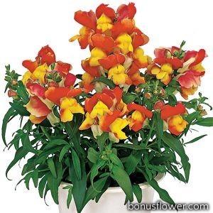 Львиный зев - Floral Showers: Apricot Bicolour