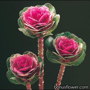 Капуста декоративная Lucir F1 Rose