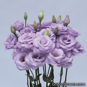 Эустома (Лизиантус) Rosita® 3: Lavender