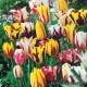 Тюльпаны многоцветные - Darwin, Syngle early, Syngle late