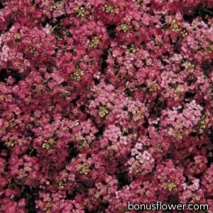 Алиссум морской Wonderland™: Deep Rose