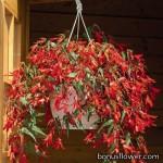 Бегония боливийская - Begonia boliviensis