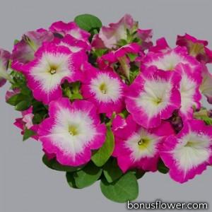 Петуния многоцветковая Mambo GP  rose morn