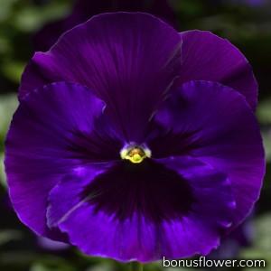 Виола Delta® F1 Neon Violet