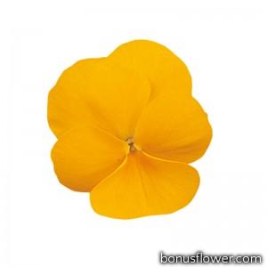 Виола Grandissimo: Clear Yellow