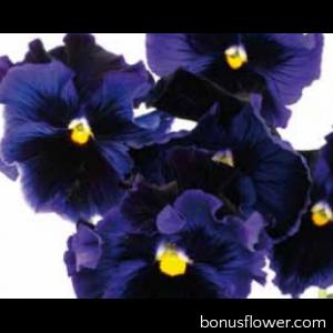 Виола Flamenco F1 Blue
