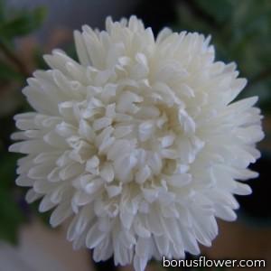 Астра на срез  Bonita:  White