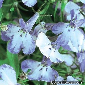 Лобелия черешковая RIVIERA BLUE SPLASH