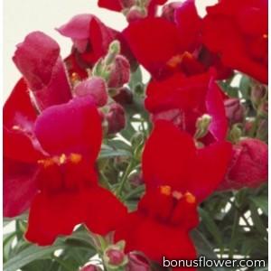 Львиный зев - Floral Showers: Crimson