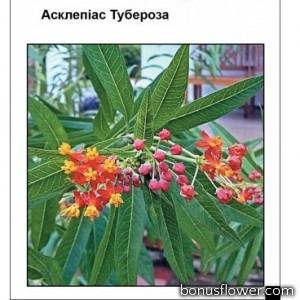 Асклепиас Тубероза