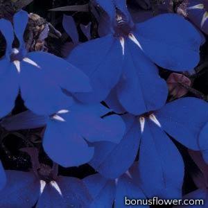 Лобелия черешковая RIVIERA MIDNIGHT BLUE