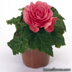 Бегония клубневая New Star®: Rose