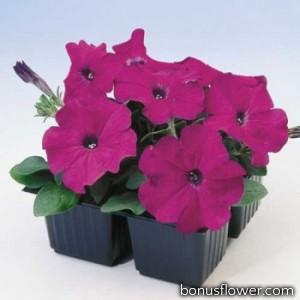 Петуния многоцветковая Lambada Purple