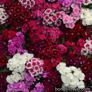 Гвоздика гибридная  Floral Lace F1 Mix